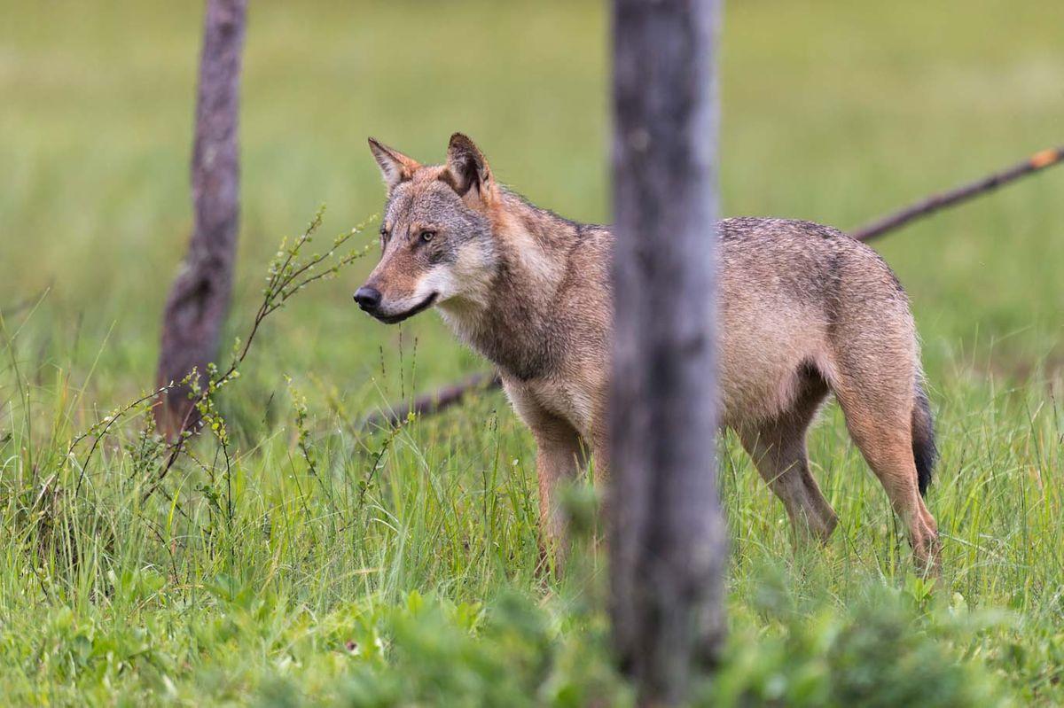 Bild Wolf QuelleRolfesDJV